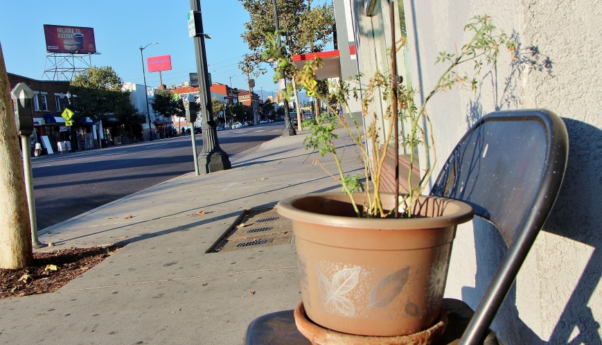 A dying plant in Highland Park, on concrete-laden Figueroa Blvd.