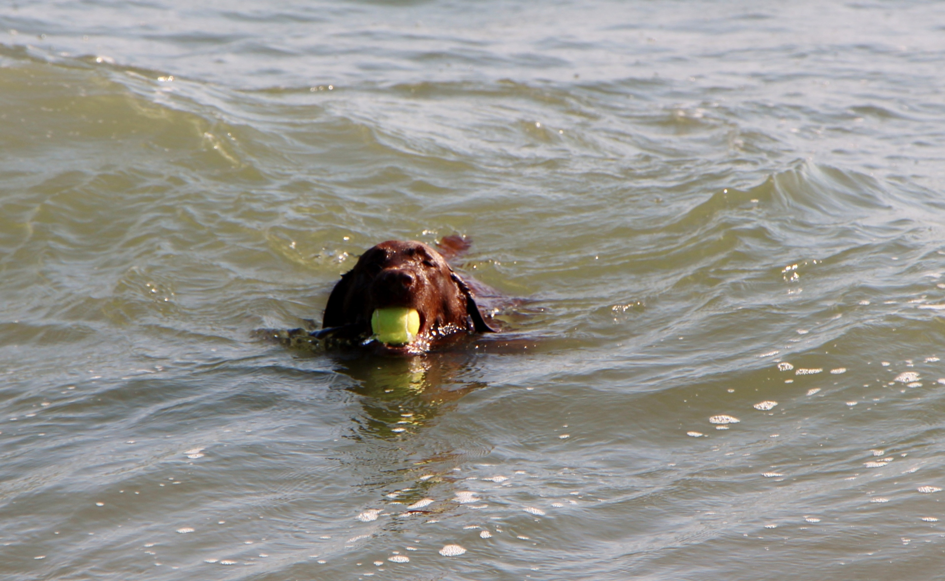 Grace, a chocolate Labrador, loved chasing a tennis ball into the waters off of Long Beach, Calif.